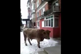 10 vaci umbla de luni de zile libere pe strazile Hunedoarei. Proprietarul lor incaseaza subventii si ignora amenzile