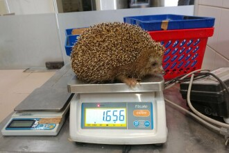 Arici supraponderal, pus la dietă la un Zoo din Israel. Are peste dublul greutății normale