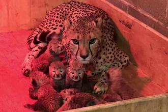 O femelă ghepard, eroina unei grădini zoologice din Saint Louis. A născut octupleţi