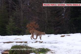 Imagini rare cu un râs, în Parcul Naţional Piatra Craiului. Prima apariție în ultimii 3 ani