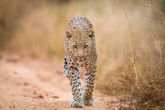 Un leopard, ținut ca animal de companie, a evadat și a ucis oile unui fermier britanic