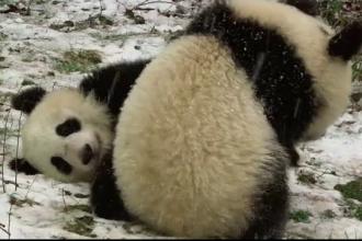 Prima zăpadă pentru doi ursuleți panda de la Grădina Zoologică din Viena