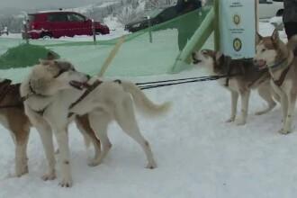Concurs de tras la sanie în Pasul Tihuța, cu câini nordici