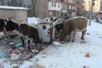 """Orașul din România în care vacile maidaneze mor de foame: """"Le dăm pâine, dar abia merg pe picioare"""""""