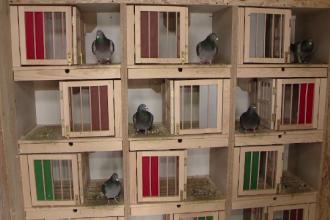 """Creșterea porumbeilor voiajori, o pasiune costisitoare: """"E un hobby"""""""