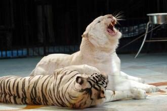 Tigrii siberieni de la Circul Globus, duşi într-un habitat mai potrivit: la Galaţi