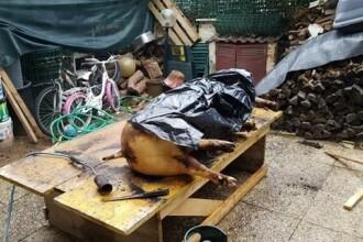 Patru români şi un italian, cercetaţi după ce au sacrificat ilegal un porc în curte. Ce riscă