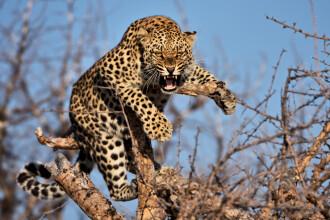 Leopard căutat de autorități cu elefanți și drone. Fusese închis într-o rezervație