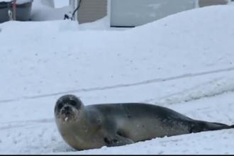 Străzile unui orășel din Canada s-au umplut de foci. Explicația fenomenului bizar