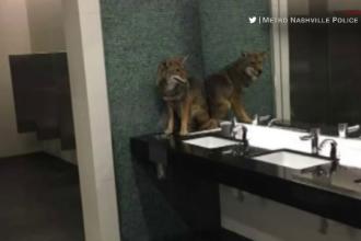 Au mers la toaletă şi au găsit un animal de pradă. Cum ajunsese acolo