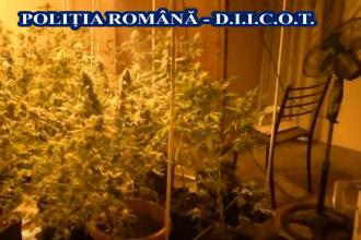Cultură de cannabis într-un apartament din Constanţa. Câte plante avea proprietarul