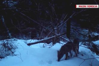 Imagini rare cu o haită de lupi, surprinse de în Parcul Natural Putna- Vrancea