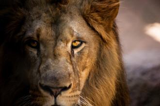 Bărbat sfâşiat de lei într-o grădină zoologică din nordul Indiei