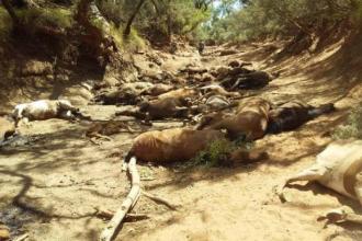 Zeci de cai sălbatici morți din cauza caniculei, în Australia: