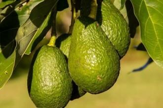 Consumul acestui fruct a explodat în Europa. Legătura cu cartelurile de droguri din Mexic