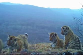 Imagini rare cu patru pui de tigru siberian. Cum au fost surprinsi