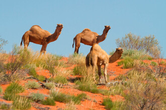 Peste 10.000 de cămile vor fi împușcate în Australia, pentru a le împiedica să bea apă