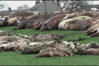 40 de porci găsiți într-o autoutilitară de poliția din Vâlcea, au fost eutanasiați