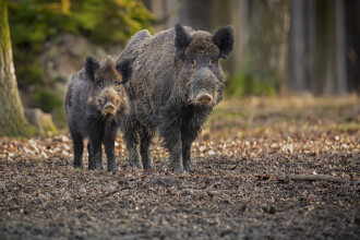 Peste 60 de mistreți au fost găsiți morți în Sălaj, infectați cu pesta porcină africană