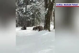 O ursoaică cu trei pui, în vizită prin Sinaia. Momentele inedite au fost filmate de polițiștii locali