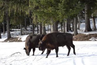 Imagini rare cu o turmă de zimbri, surprinse în parcul natural Vânători din Neamț