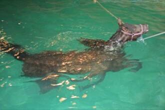 Calul Poznasul a cazut intr-o piscina. Vezi cum a fost salvat