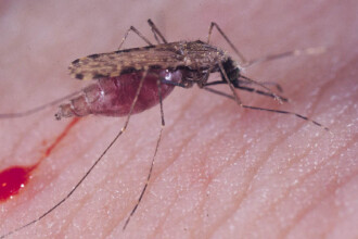 O noua forma periculoasa de malarie descoperita in Cambodgia!