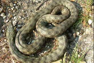 E sezon de imperechere pentru serpi: un barbat din Iasi a fost muscat