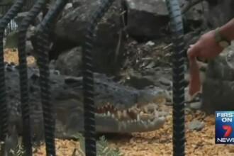 Un dresor de crocodili a fost atacat de reptila pe care incerca sa o hranesca