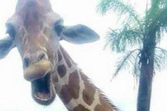 Toti au crezut ca este poza unei girafe, insa au inceput sa rada cu lacrimi cand au vazut ce se intampla de fapt in imagine
