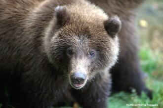 Un vanator a scapat de atacul unui urs grizzly dupa ce si-a bagat o mana pe gatul animalului.