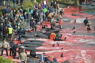 Masacru autorizat in Insulele Feroe. Sute de balene au fost macelarite de localnici, in numele traditiei. VIDEO