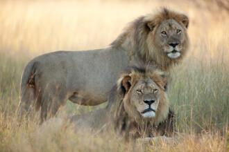 Declaratia facuta de dentistul american care l-a ucis pe leul Cecil: