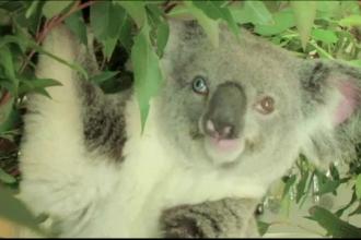 Un urs koala cu un ochi albastru si unul caprui a fost lovit de un camion. Ce nume a primit de la medicii care l-au tratat