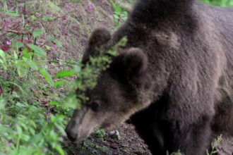 Specialistii cer aprobare pentru a-l omori pe ursul care a atacat o persoana in Brasov.