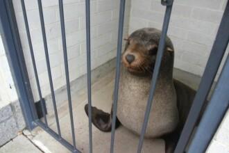 O foca a fost gasita dormind intr-o toaleta publica din Australia. Cum au reactionat autoritatile