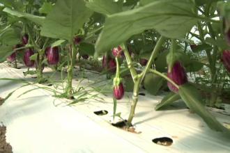 Productie record de vinete in acest an pentru fermierii romani. Cat costa un kilogram in piata