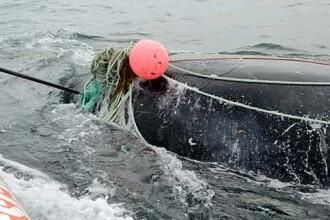 Un pescar din Canada care a salvat zeci de balene in ultimii 15 ani a murit lovit de o balena, dupa ce a scos-o dintr-o plasa