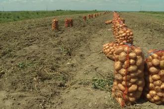 Comuna cunoscuta in toata Romania pentru productia de cartofi, ingropata incet, incet de mandria agricultorilor