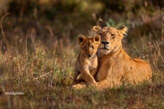 Comportamentul unei leoaice contrazice milioane de ani de evolutie. Imaginea care i-a impresionat pana si pe cercetatori