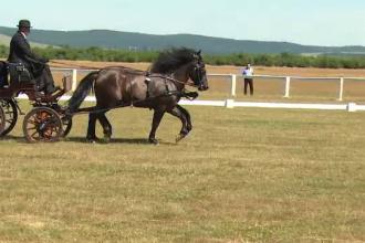 Cele mai bune echipe de atelaje cu doi cai s-au adunat sa concureze in Bihor. O pereche ajunge pana la 100.000 de euro