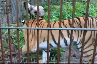O tigroaica de la un parc zoo din Rusia s-a imprietenit cu o capra pe care ingrijitorii i-o adusesera pentru a o manca