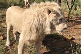 Motivul pentru care șase lei albi, dintre care doi pui, au fost otrăviți și decapitați