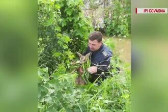Pui de căprioară, salvat din apele râului Baraolt de un poliţist care dirija traficul