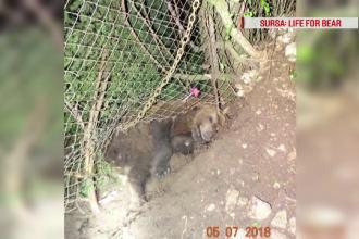 Aventura unui pui de urs care s-a apropiat de case, la Brașov. Salvatorii, nevoiți să-l tranchilizeze