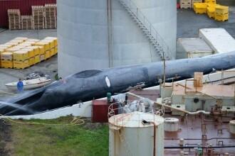 Islanda acuzată că a ucis un exemplar rar de balenă. Momentul în care animalul e tranșat