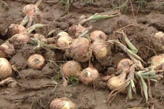 Producţia de ceapă, de cinci ori mai mică faţă de anul trecut. România, nevoită să importe leguma