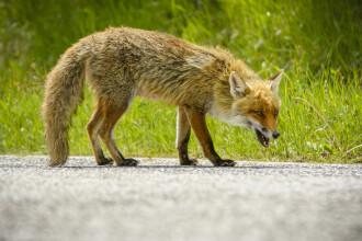 Gestul disperat al unei femei, după ce a fost atacată de o vulpe cu rabie