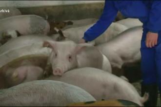 """Cum a ajuns virusul pestei porcine în județul Dâmbovița. """"A spus că nu îl interesează"""""""