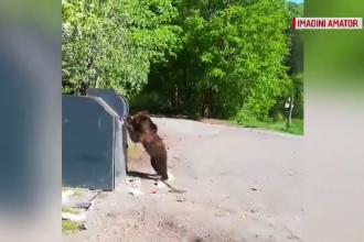 Momentul în care un urs ridică capacul de la tomberon, la Lacul Sfânta Ana